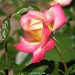 Трёхцветная роза с остатками капелек утренней росы