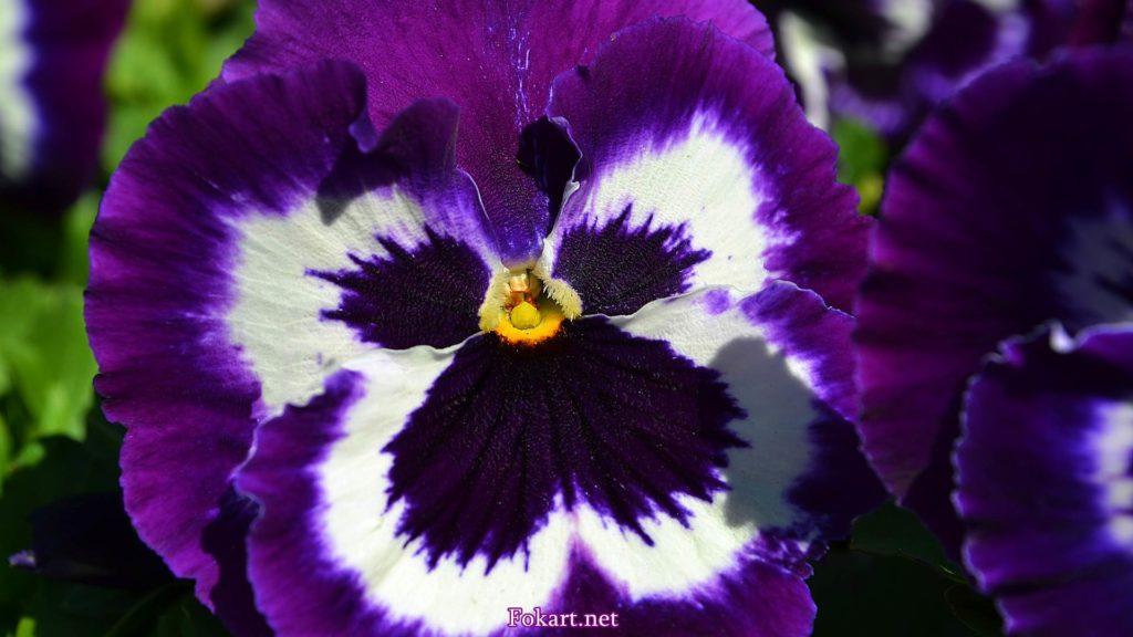 Фиолетовая виола, фото, Анютины глазки