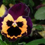 Фиолетово-оранжевая виола, фото, Анютины глазки