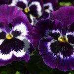 Фиолетовые виолы, фото, Анютины глазки