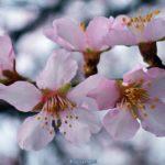 Цветущая веточка с розовыми цветочками персика