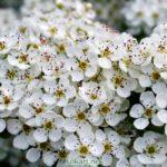 Цветки боярышника, фото-картина
