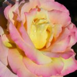 Роза с цветными лепестками