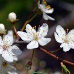 Цветочки дикой сливы