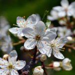 Цветочки дикой сливы, фото 2