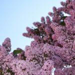Сиреневые соцветия на верхних ветках обильно цветущего куста сирени