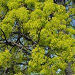 Цветущие ветки клёна