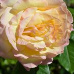 Чайная роза в мягком свете осеннего солнца