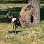 Чёрный аист (Ciconia nigra) у старого дерева