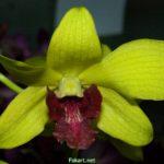 Ядовито-жёлтая орхидея, фото,