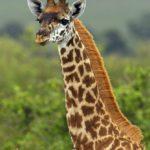 Жирафик, молодой жираф