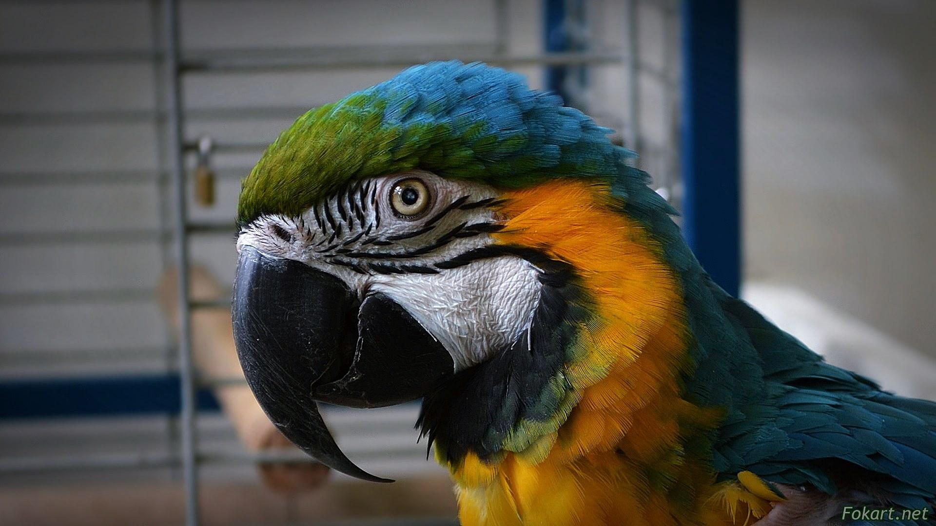 Сине-жёлтый попугай ара вблизи