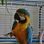 Сине-жёлтый попугай ара возле клетки