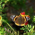 Бабочка Адмирал на бархатце