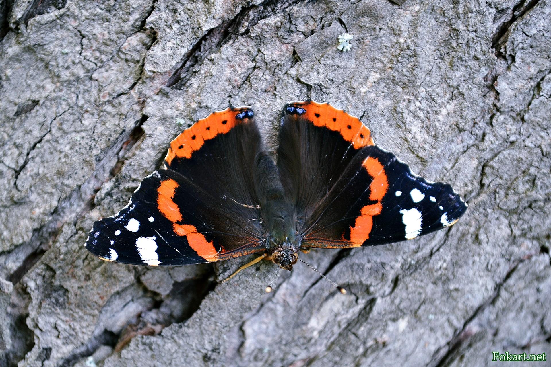 Бабочка Адмирал на стволе дерева
