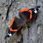 Бабочка Адмирал на дереве