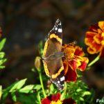 Бабочка Адмирал на цветке бархатца