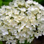 Белое соцветие гортензии садовой, древовидной.