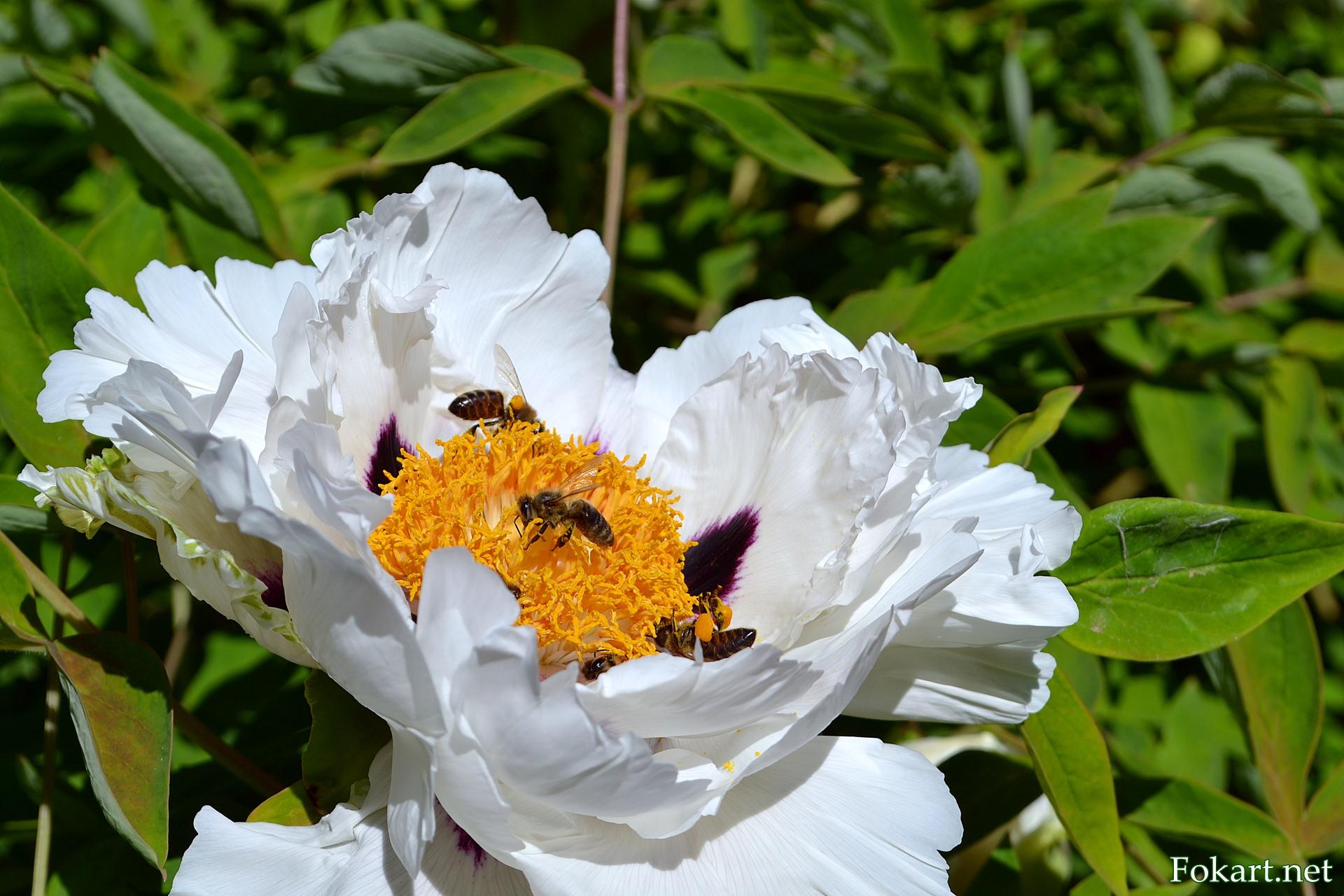 Роскошный белый цветок древовидного пиона Рока (Paeonia rockii) и пчёлы
