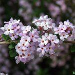 Буддлея очереднолистная (Buddleja alternifolia Maxim)