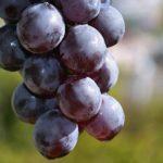 Фрагмент грозди мелкого осеннего винограда крупным планом, фото-картина