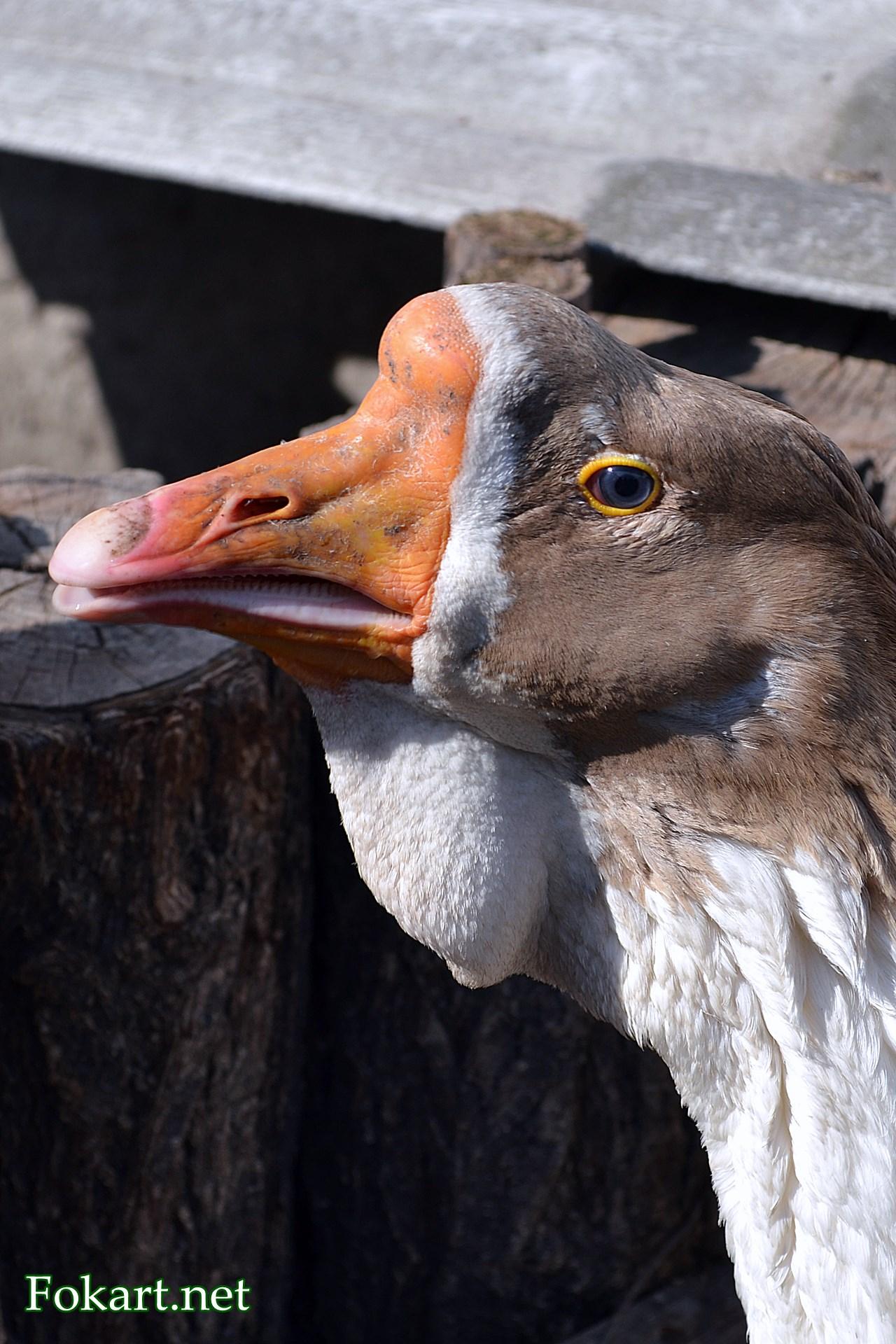 Голова китайского гуся