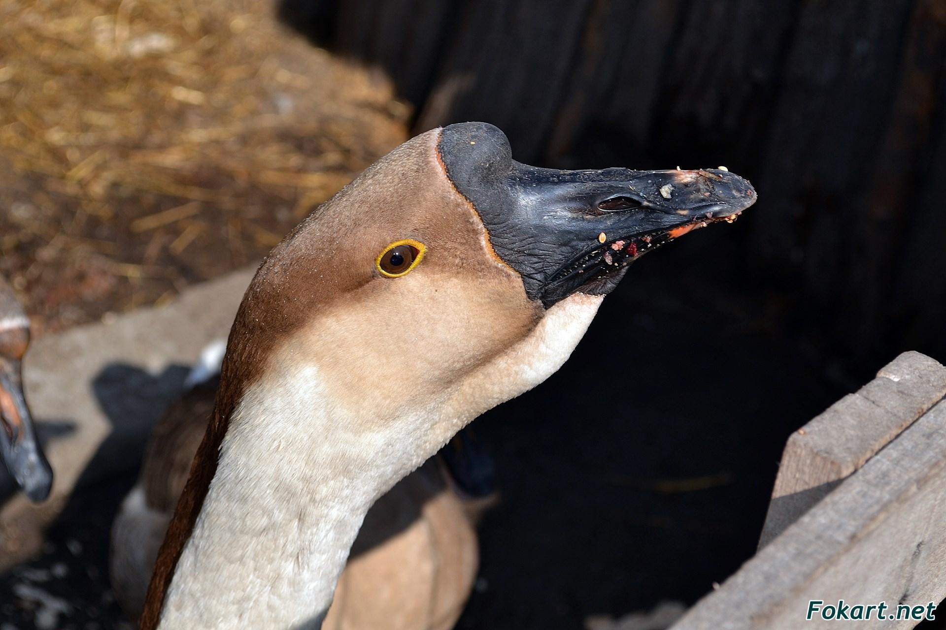 Голова кубанского гуся
