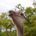 Голова кричащего африканского страуса на фоне деревьев.