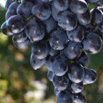 Гроздь тёмного винограда на зелёном фоне