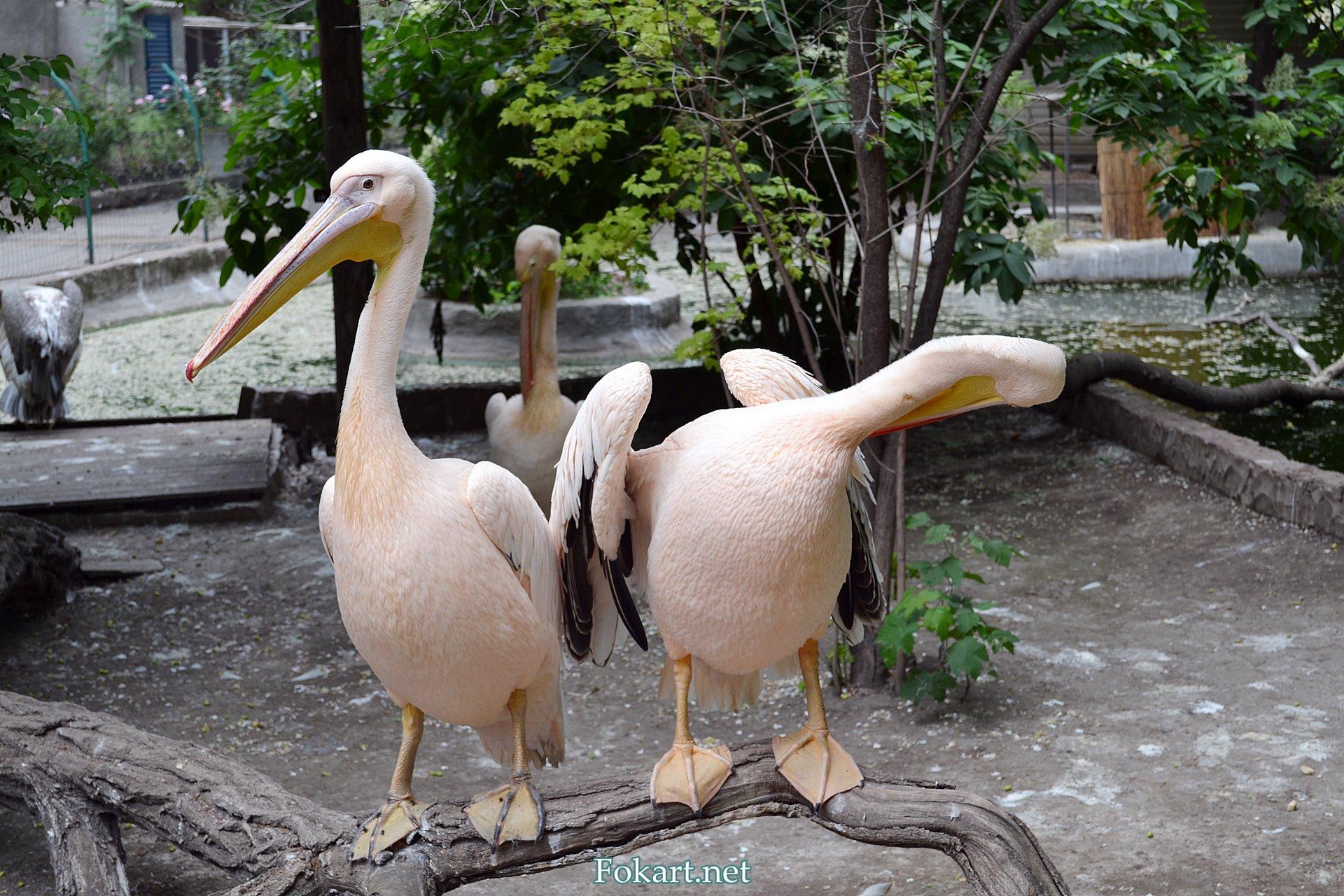 Розовые пеликаны в зоопарке