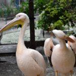Пара розовых пеликанов на птичьем дворе в зоопарке