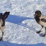 Две серых вороны на грязном снегу
