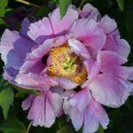 Сиреневый цветок древовидного пиона