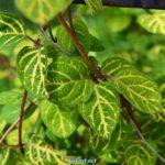 Майские листья жимолости японской золотисто-сетчатой