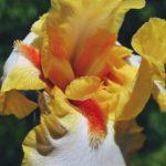Жёлто-белый бородатый ирис с оранжевой бахромкой