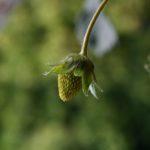 Зелёная ягода клубники на размытом зелёном фоне