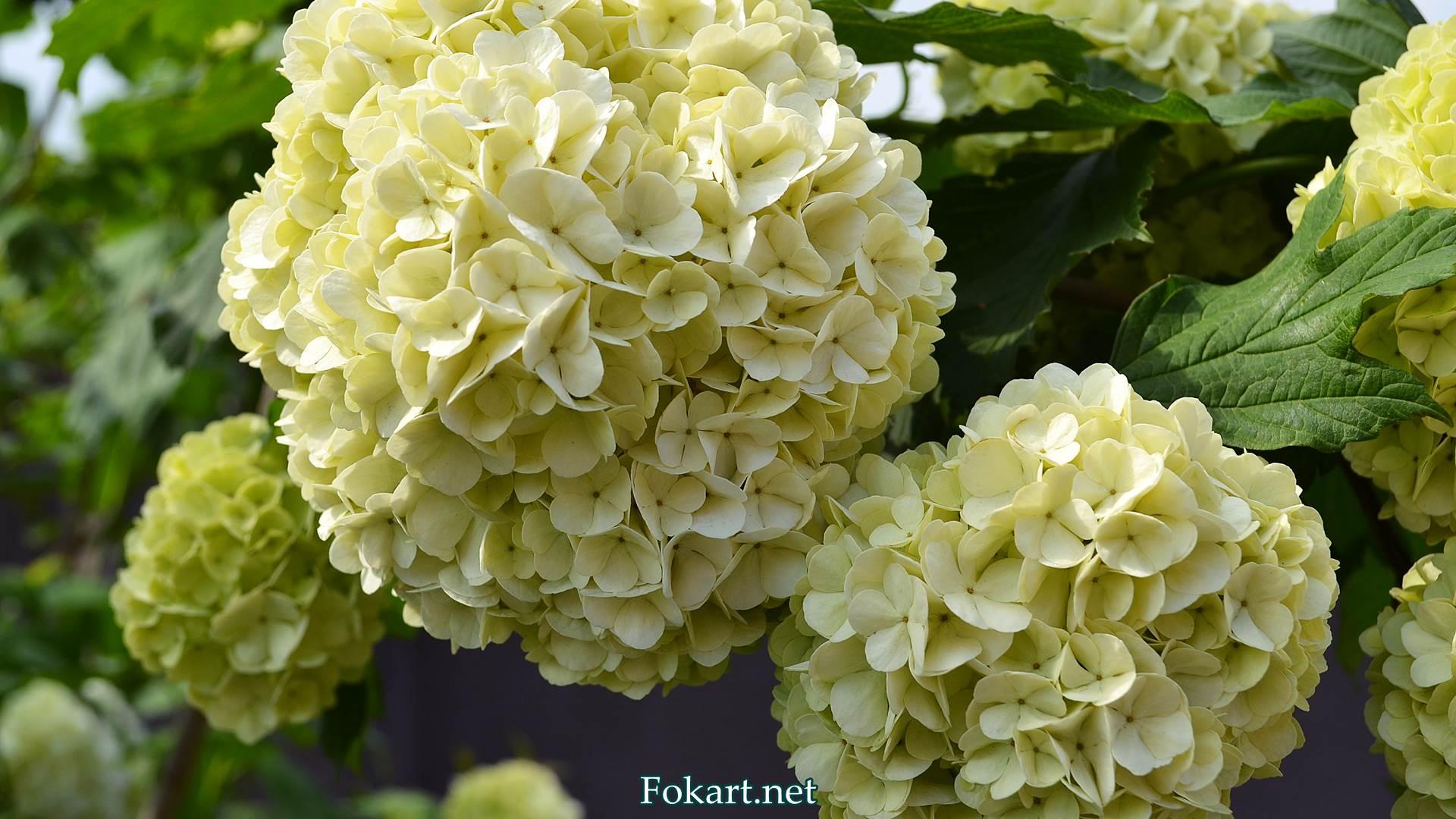 Белые цветущие шары калины декоративной