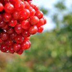 Гроздь спелых ягод калины красной, или обыкновенной