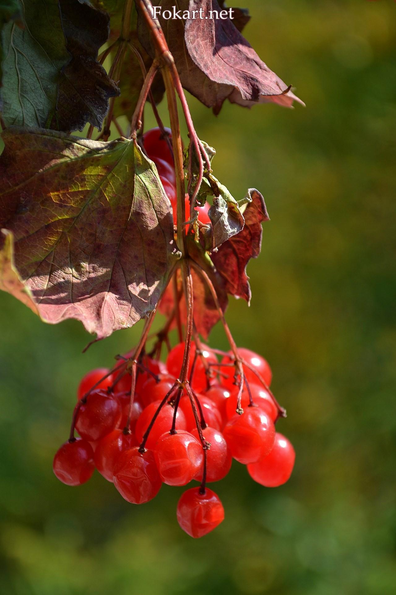 Осенняя гроздь калины