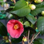 Камелия японская цветёт