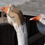 Китайские гуси вблизи