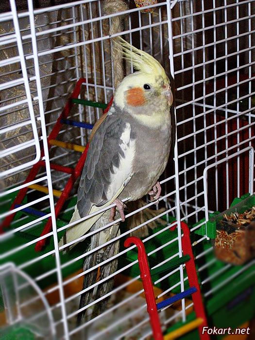 Попугай корелла сидит в открытой клетке