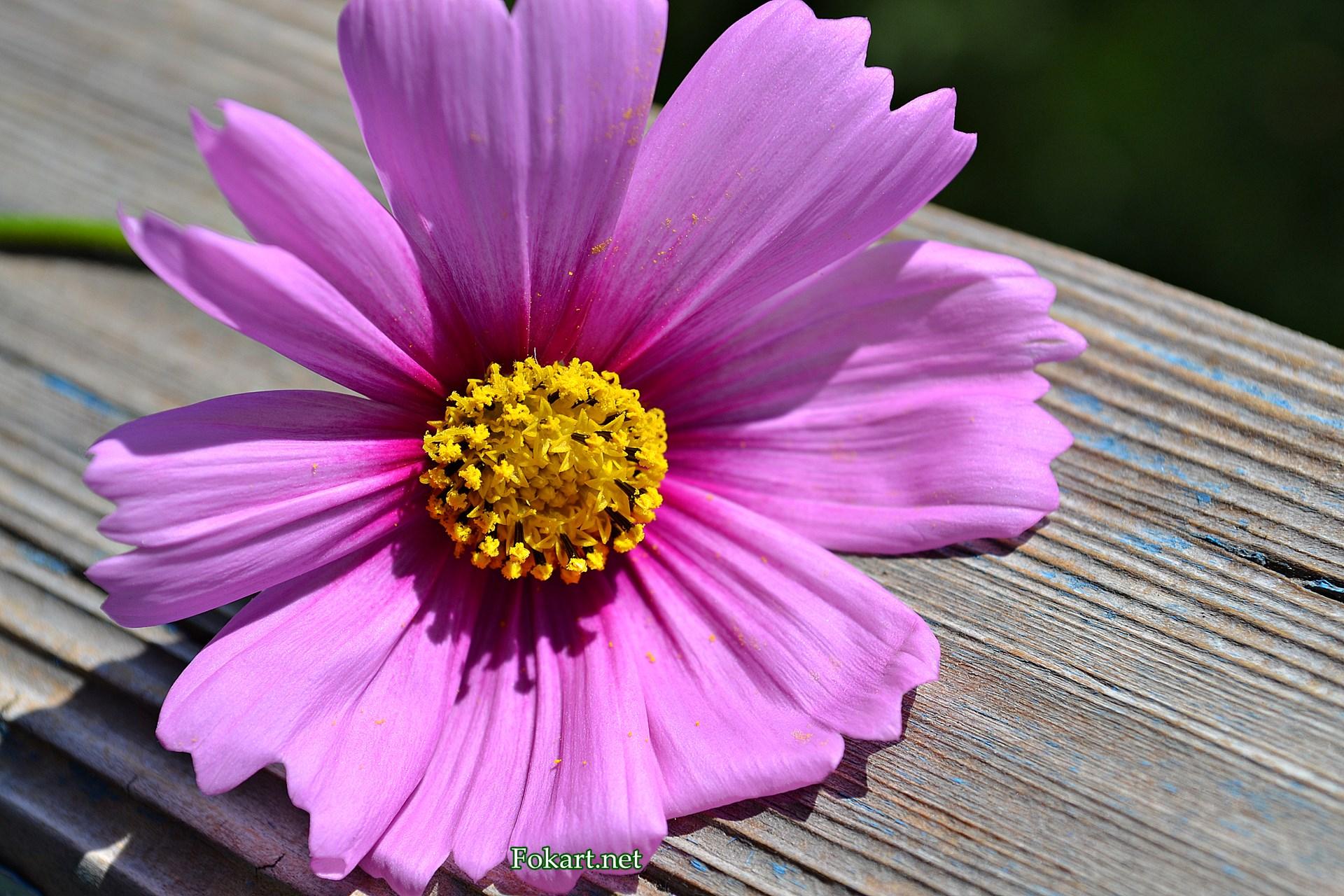 Сиреневый цветок космеи на старой деревянной доске