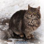 Серый пушистый кот с зелёными глазами на зимней прогулке