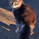 Молодая пушистая серая кошка с зелёными глазами