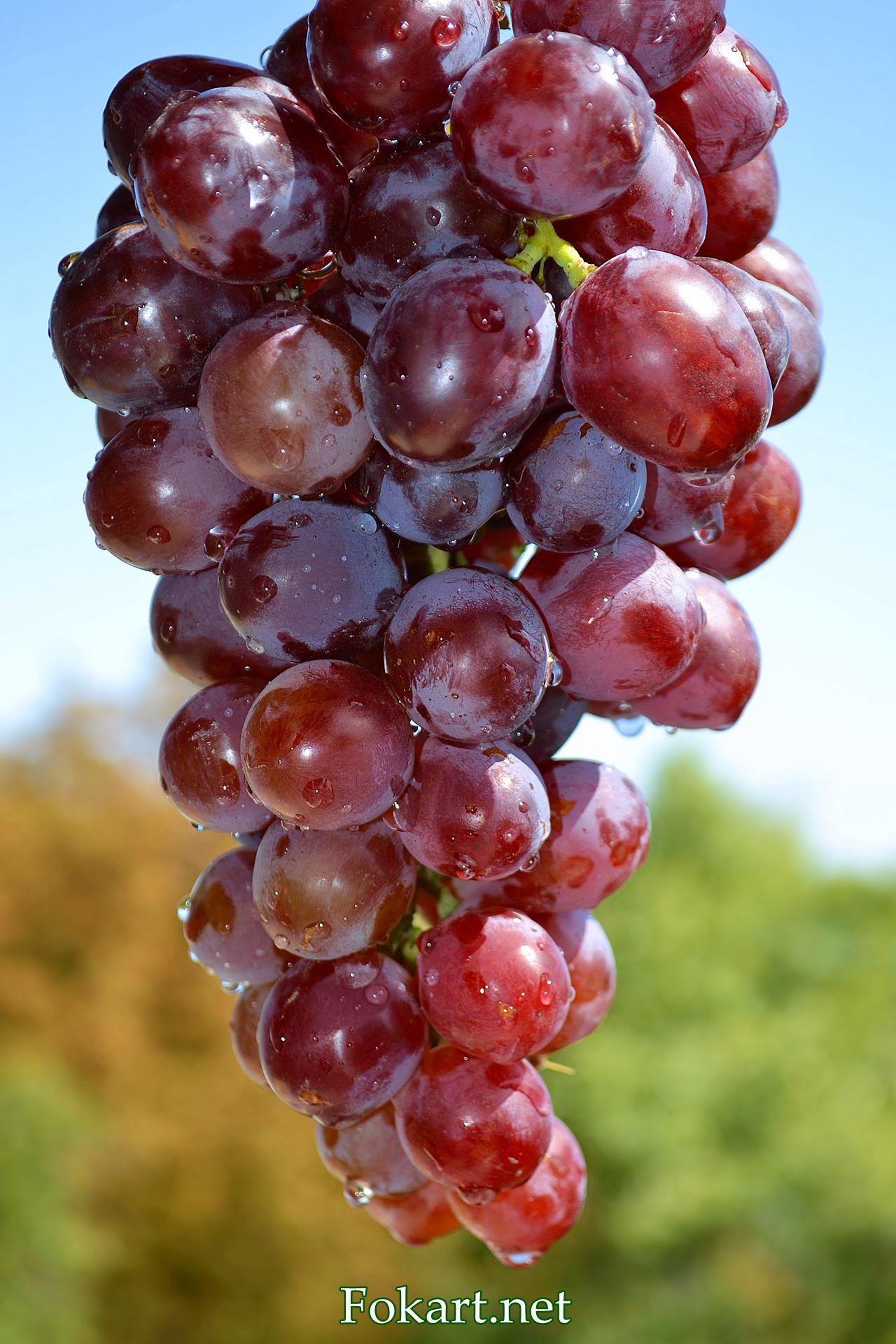 Созревшая гроздь красного винограда