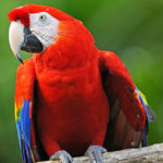 Красный ара на жёрдочке