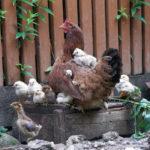 Домашняя курица с подросшими цыплятами у забора