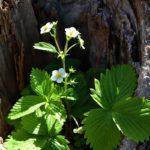 Цветущий кустик клубники, выросший в расщелине дерева