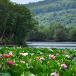 Лотосы на озере